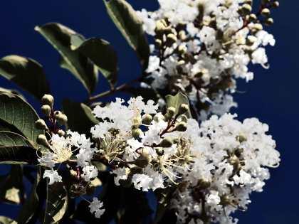 Apple blossoms 2877 Ashford