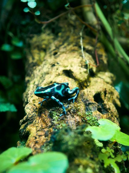 Green and Black Poison Frog -Costa Rica SA